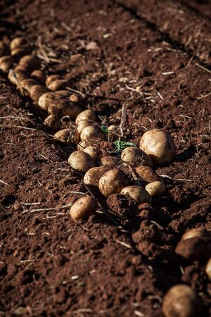 row of fresh raw potato on land photo