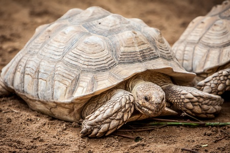 monstrous: two big galapago tortoise on a park
