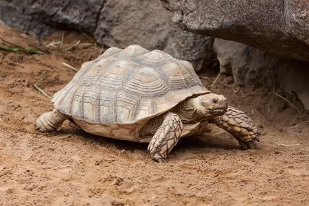 sluggish: a big galapago tortoise on a park Stock Photo