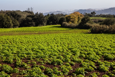 green potato field and farm on sunny day photo