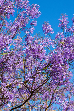 Jacaranda tree with flower on blue sky day photo