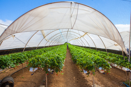 hydroponic: hydroponic cultivation of  sweet strawberries on greenhouse Stock Photo