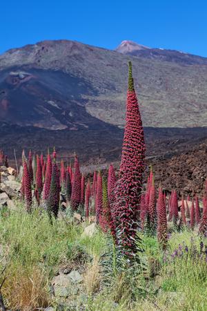 echium: Teide landscape with flower Echium wildpretii (red bugloss) Stock Photo