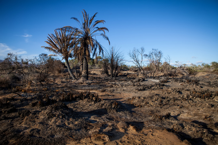 environmental damage: burn trees and palms after a fire in blue sky background Stock Photo