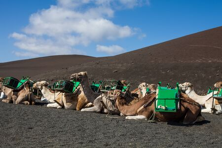 Camels with muzzle resting and waiting for tourists to arrive for camel rides in desert of Timanfaya Park, Lanzarote, Spain