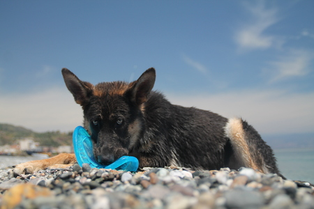 German shepherd biting a toy. 7 months old, female.
