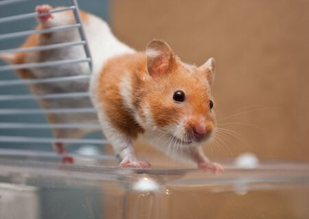 Hamster climbing on cage Stock Photo
