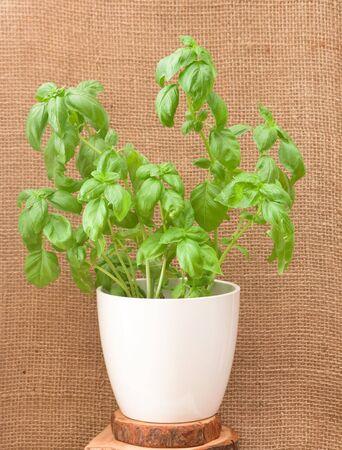 basil plant photo