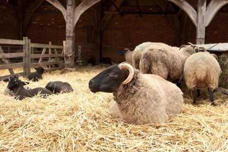 lambing in a farm photo
