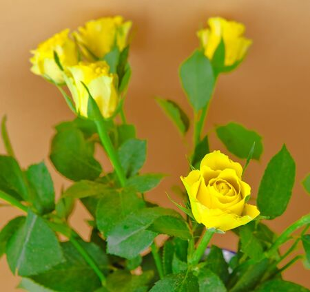 Bunch of yellow roses on a beige background Stock Photo - 10041070