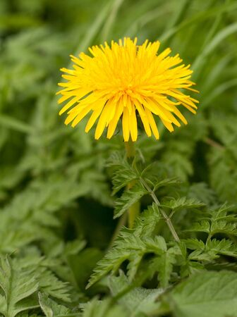 close up of dandelion Stock Photo - 10041069