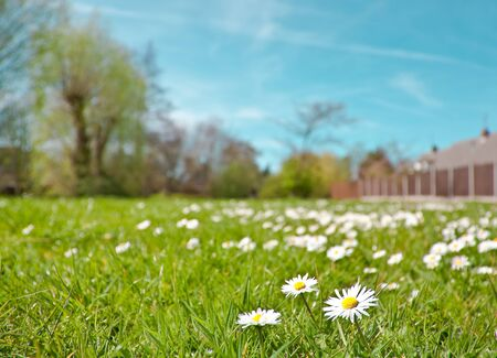 field of spring daisies Stock Photo - 10040896