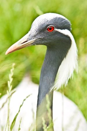 gray herons: close up of a heron