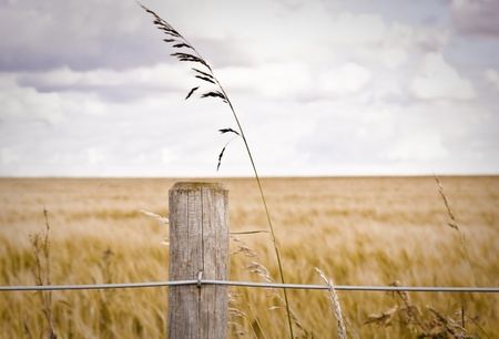 Fence post in front of a barley field