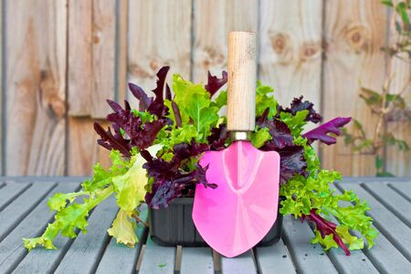 Lettuce and a pink trowel photo