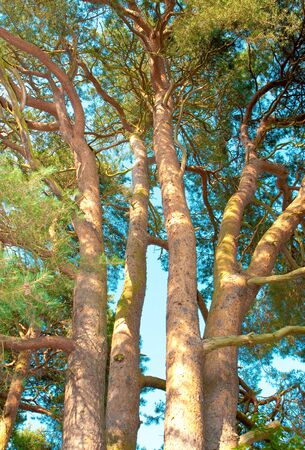 Detailed image of fir tree trunks against a vibrant blue sky Stock Photo - 10040838