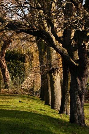 row of mature trees Stock Photo - 10040844