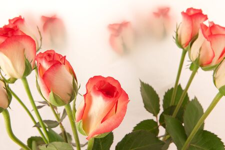 fresh roses Stock Photo - 10041056