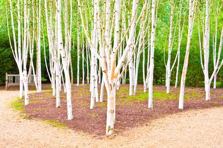 european white birch: A beautiful silver birch woodland scene