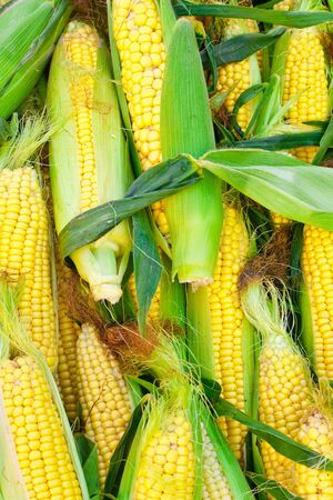 Freshly harvested sweetcorn as a background image photo