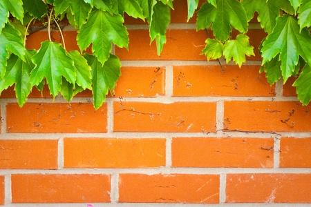 Eine lebendige Mauer Hintergrund mit grünen Efeublättern