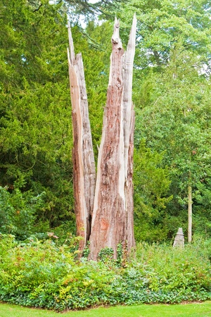 struck: Giant redwood tree which has been struck by lightning