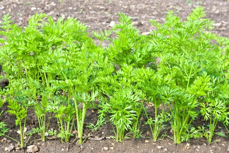 Young carrot plants growing in the soil