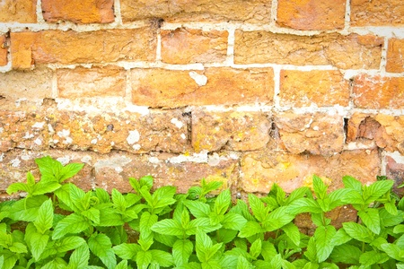 Lovely fresh mint leaves against a red brick wall Stock Photo - 10651834