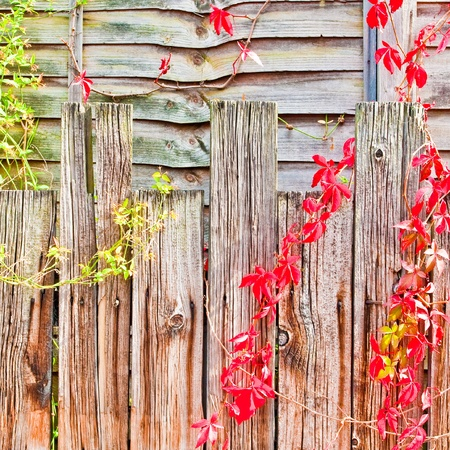 Nice detailed backgroun d image of a fence with red and green ivy photo
