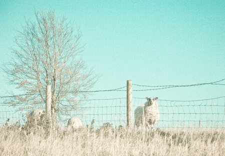 A cold toned textured photograph of sheep in a field on a cold winter day photo