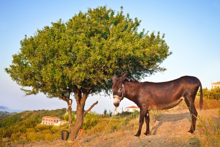 tiedup: A donkey under a tree in the late afternoon sun in Greece Stock Photo