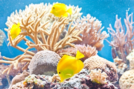 Three beautiful yellow tropical fish in a coral reef Stock Photo - 14883065