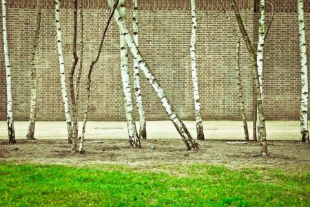 Silver birch trees against a brick wall photo