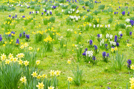 hyacinths: A meadow of spring daffodils and hyacinths Stock Photo