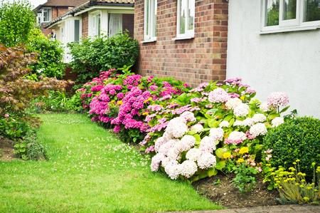 Blooming hydrangea plants on an english garden photo