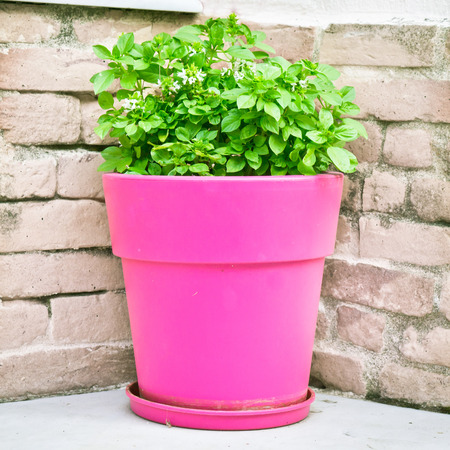 greek pot: Pianta di basilico greca in una pentola rosa