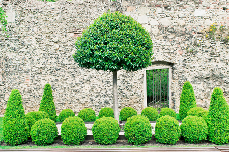 A neat display of topiaries against a medieval brick wall Stock Photo