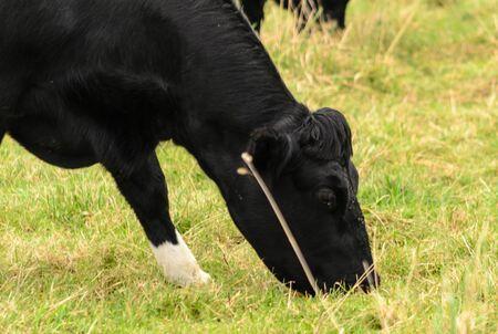 Eine Milchkuh , die Gras nahe Leeds in Großbritannien isst Standard-Bild - 88105388