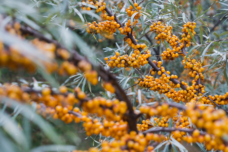 seabuckthorn: Seabuckthorn bushes plentifully covered with bright orange berries
