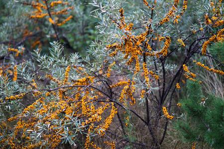 argousier: Seabuckthorn bushes plentifully covered with bright orange berries