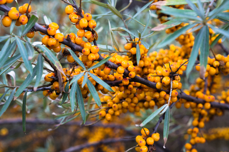 Seabuckthorn bushes plentifully covered with bright orange berries