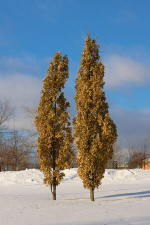 Trees with yellow leaves in the winter on a sunny day Reklamní fotografie