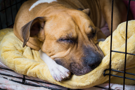 An adult dog sleeps on its bed Stock Photo