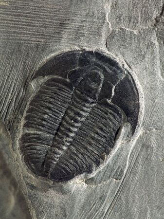 Elrathii kingii trilobite from the middle cambrian period, approximately 550 million years BCE.  Found in a sandy shale formation south of Salt Lake City, Utah. Stock Photo