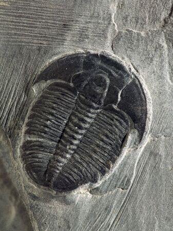 Elrathii Kingii Trilobiten aus mittleren kembrijskogo der Periode, etwa 550 Millionen Jahren vor.  Gefunden Sie in einer sandigen Schiefer-Formation s�dlich von Salt Lake City, Utah. Lizenzfreie Bilder