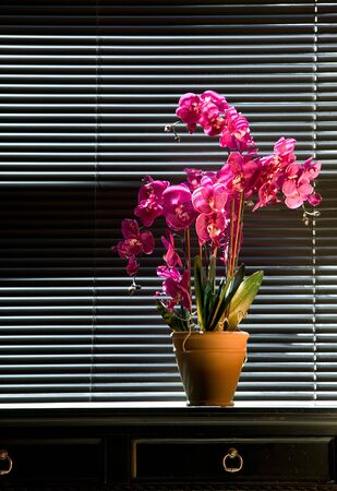 Potted pink orchid on black table top in front of black venetian blinds photo