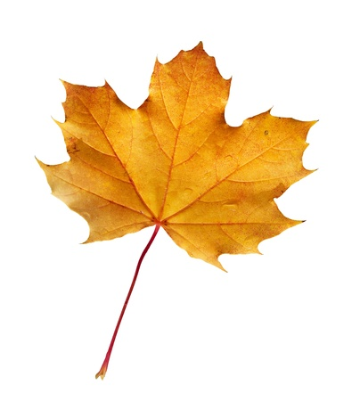 sycamore: Colorful fall leaf with clipping path