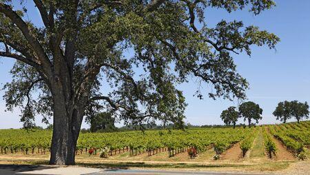 Ein Weinberg in Kalifornien
