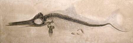 Museum quality Besetzung eines Lower Jurassic Ichthyosaur aus dem Lias Bildung in Holzmaden, Deutschland mit Schatten der urspr�nglichen K�rperform.