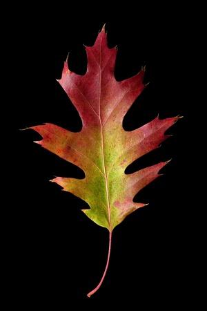sicomoro: Colorful caduta delle foglie di quercia